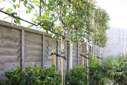 Pleached Trees Fullbrook Nursery